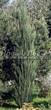 Хвойный крупномер Можжевельник скальный Блю Эрроу (Блу Арроу) (Juniperus scopulorum 'Blue Arrow') - 101
