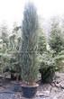 Хвойный крупномер Можжевельник скальный Блю Эрроу (Блу Арроу) (Juniperus scopulorum 'Blue Arrow') - 102