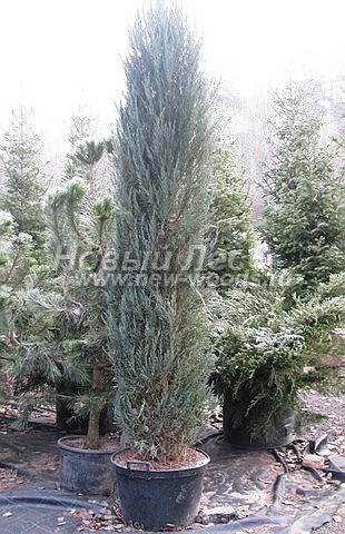 Посадка крупномеров хвойных деревьев Можжевельника скального Блю Эрроу (Блу Арроу)