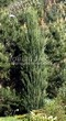 Хвойный крупномер Можжевельник скальный Блю Эрроу (Блу Арроу) (Juniperus scopulorum 'Blue Arrow') - 104