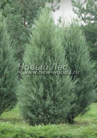 Хвойный крупномер Можжевельник скальный Скайрокет (Juniperus scopulorum 'Skyrocket')