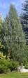 Хвойный крупномер Можжевельник скальный Скайрокет (Juniperus scopulorum 'Skyrocket') - 101