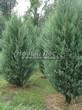 Хвойный крупномер Можжевельник скальный Скайрокет (Juniperus scopulorum 'Skyrocket') - 102