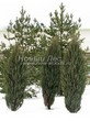 Хвойный крупномер Можжевельник скальный Скайрокет (Juniperus scopulorum 'Skyrocket') - 103
