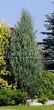 Хвойный крупномер Можжевельник скальный Скайрокет (Juniperus scopulorum 'Skyrocket') - 104