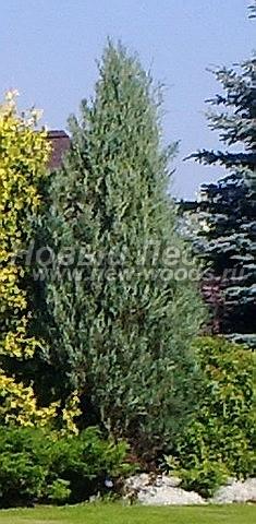 Можжевельник скальный Скайрокет: посадка крупномеров хвойных деревьев