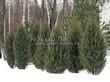 Хвойный крупномер Можжевельник скальный Скайрокет (Juniperus scopulorum 'Skyrocket') - 105