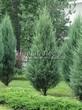 Хвойный крупномер Можжевельник скальный Скайрокет (Juniperus scopulorum 'Skyrocket') - 106