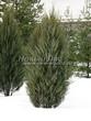 Хвойный крупномер Можжевельник скальный Скайрокет (Juniperus scopulorum 'Skyrocket') - 107