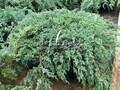 Хвойный крупномер Можжевельник чешуйчатый Блю Карпет (Блу Карпет) (Juniperus squamata 'Blue Carpet')