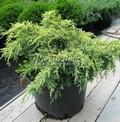 Хвойный крупномер Можжевельник чешуйчатый Дрим Джой (Juniperus squamata 'Dream Joy')
