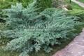 Хвойный крупномер Можжевельник виргинский (вирджинский) Хетц (Хетз) (Juniperus virginiana 'Hetz')