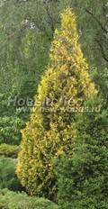 Хвойный крупномер Туя западная Ауресценс (Thuja occidentalis 'Aurescens')