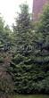 Хвойный крупномер Туя западная Брабант (Thuja occidentalis 'Brabant') - 103