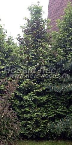 Туя западная Брабант: посадка крупномеров хвойных деревьев