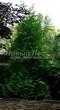 Хвойный крупномер Туя западная Брабант (Thuja occidentalis 'Brabant') - 106
