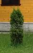 Хвойный крупномер Туя западная Колумна (Thuja occidentalis 'Columna') - 101