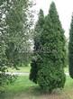 Хвойный крупномер Туя западная Колумна (Thuja occidentalis 'Columna') - 102