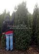 Хвойный крупномер Туя западная Колумна (Thuja occidentalis 'Columna') - 103