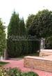 Хвойный крупномер Туя западная Колумна (Thuja occidentalis 'Columna') - 106