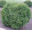 Хвойный крупномер Туя западная Глобоза (Thuja occidentalis 'Globosa') - 101