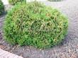 Хвойный крупномер Туя западная Глобоза (Thuja occidentalis 'Globosa') - 103