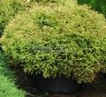Хвойный крупномер Туя западная Голден Таффет (Thuja occidentalis 'Golden Tuffet')