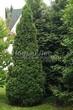 Хвойный крупномер Туя западная Смарагд (Thuja occidentalis 'Smaragd') - 101