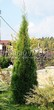Хвойный крупномер Туя западная Смарагд (Thuja occidentalis 'Smaragd') - 102