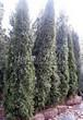Хвойный крупномер Туя западная Смарагд (Thuja occidentalis 'Smaragd') - 103