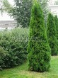 Хвойный крупномер Туя западная Смарагд (Thuja occidentalis 'Smaragd') - 105