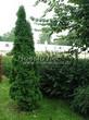 Хвойный крупномер Туя западная Смарагд (Thuja occidentalis 'Smaragd') - 108