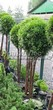 Хвойный крупномер Туя западная Смарагд (Thuja occidentalis 'Smaragd') - 109