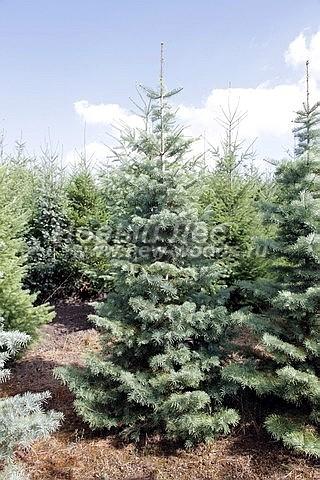 Пихта одноцветная: посадка крупномеров хвойных деревьев