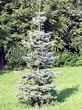 Хвойный крупномер Пихта одноцветная (Abies concolor) - 103