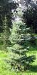 Хвойный крупномер Пихта одноцветная (Abies concolor) - 106