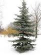 Хвойный крупномер Пихта одноцветная (Abies concolor) - 107