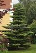 Хвойный крупномер Пихта корейская (Abies koreana) - 102