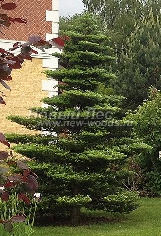 Пихта корейская: посадка крупномеров хвойных деревьев