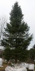 Хвойный крупномер Пихта сибирская (Abies sibirica)