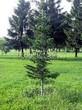 Хвойный крупномер Пихта сибирская (Abies sibirica) - 102