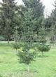Хвойный крупномер Пихта сибирская (Abies sibirica) - 104