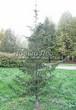 Хвойный крупномер Пихта сибирская (Abies sibirica) - 106