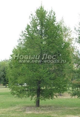 Хвойный крупномер Лиственница европейская (Larix decidua)