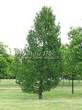 Хвойный крупномер Лиственница европейская (Лиственница опадающая) (Larix decidua) - 101