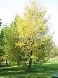 Хвойный крупномер Лиственница европейская (Лиственница опадающая) (Larix decidua) - 102