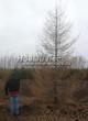 Хвойный крупномер Лиственница европейская (Лиственница опадающая) (Larix decidua) - 103