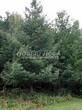 Хвойный крупномер Лиственница европейская (Лиственница опадающая) (Larix decidua) - 105