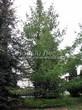 Хвойный крупномер Лиственница европейская (Лиственница опадающая) (Larix decidua) - 106