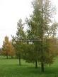 Хвойный крупномер Лиственница европейская (Лиственница опадающая) (Larix decidua) - 107